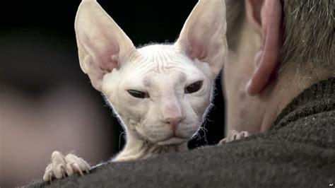International Cat Beauty Contest Held In Romania Cbbc