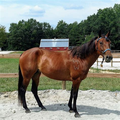 brands freeze horse branded challenge mark star aqh rancher weanling gave giving friend had before