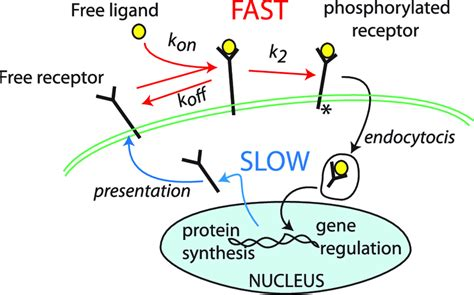 Ligand-receptor dynamics forms a basis for our model. FGF ...