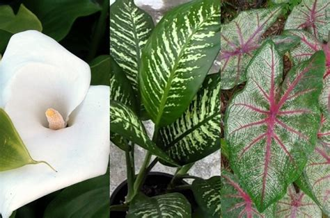 plantas venenosas  pode ter em casa