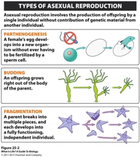 fragmentation of asexual reproduction genetic engineering