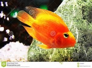 Fische Aquarium Hamburg : goldene fische im aquarium lizenzfreie stockfotografie ~ Lizthompson.info Haus und Dekorationen