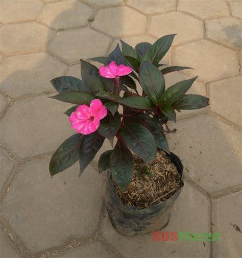 jual tanaman bunga pacar air ungu lapak rosflorist