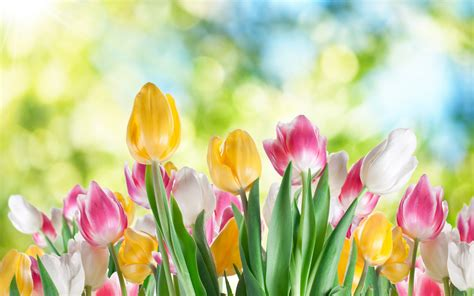 Wallpaper Of Tulip by Tulip Hd Wallpaper Background Image 1920x1200 Id