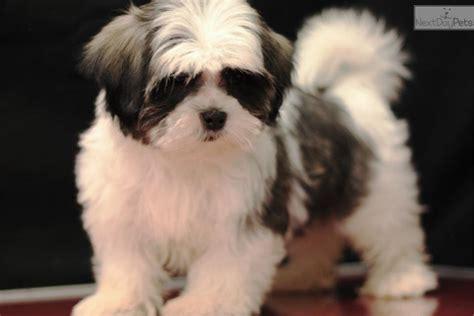 video meet boomer  cute mal shi malshi puppy  sale