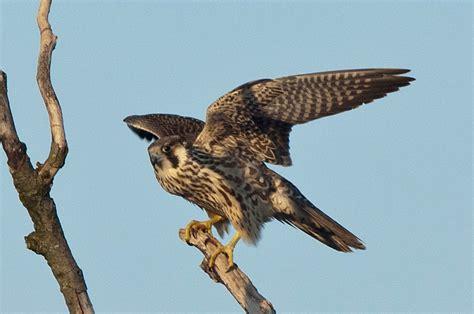 birds onlinech vogelarten greifvoegel wanderfalke