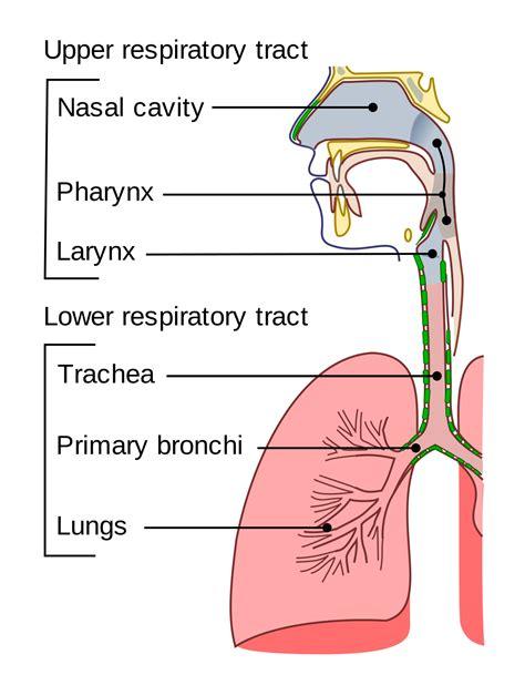 respiratory tract wikipedia