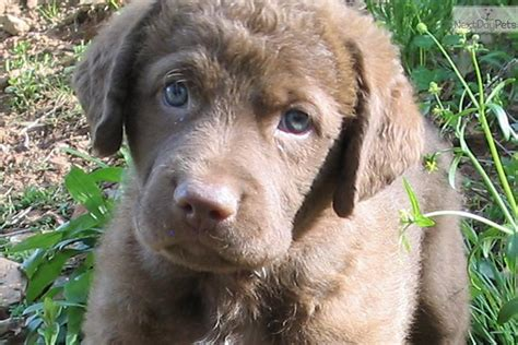 chesapeake bay retriever vs lab shedding chesapeake labrador retrievers pictures to pin on