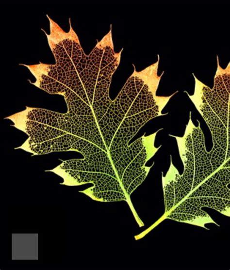 etched skeletonized leaves  frame black oak