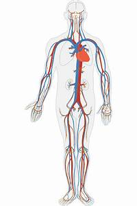 Is Blood Blue  Why Does Human Blood In Veins Look Blue