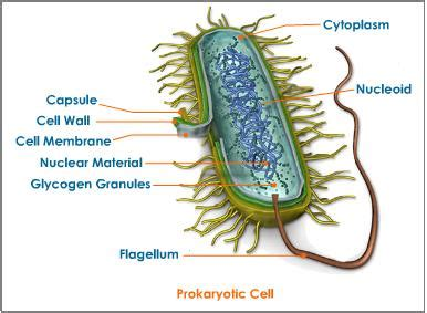 Different Organelles In Prokaryotes And Eukaryotes