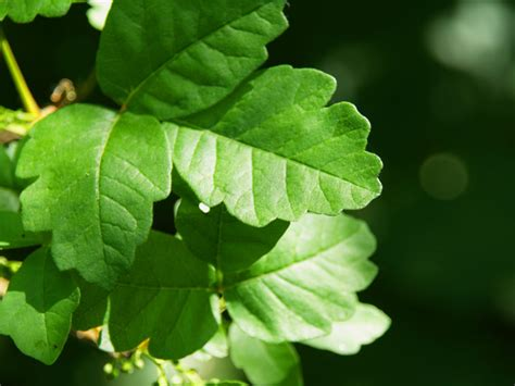 Poison Oak Poison Ivy Rashes Treatments Remedies
