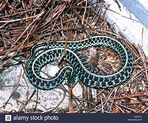Eastern or common garter snake Thamnophis sirtalis ...