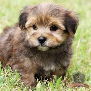 Morkie puppy!! Almost bought one of these cuties today ...
