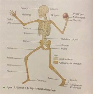 Independent Scientist  Major Bones Of Skeletal System