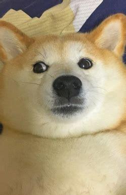 Doge Meme Tumblr - doge dog meme tumblr