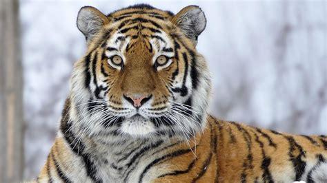 Siberian Tiger Wallpaper Studio Tens