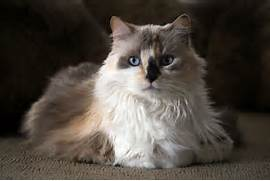 The Calico Cat - Cat B...Fluffy Dilute Calico Cat