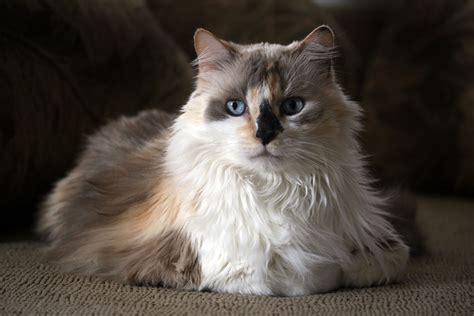 calico cat cat breeds encyclopedia