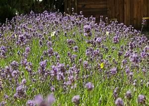 Verholzten Lavendel Schneiden : lavendula angustifolia der lavendel duftlavendel ideal f r ~ Lizthompson.info Haus und Dekorationen
