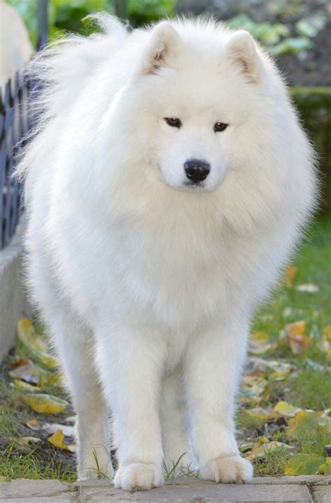 298 Best Images About Samoyeds On Pinterest Adoption