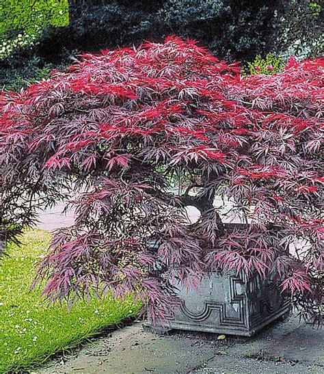 Japanischer Garten Ahorn by Japanischer Ahorn Burgund Bei Baldur Garten F 228 Cherahorn