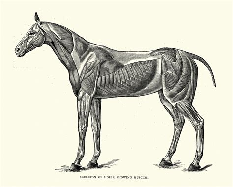 horse anatomy invertebrate muscles skeleton essay vertebrate animal organ systems system muscular functions