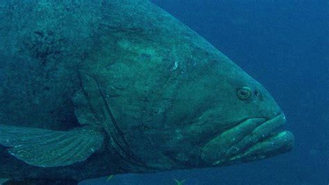 reef predator snake sea grouper predators deadly queensland barrier fish