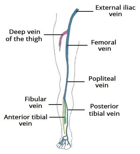 common iliac veins forming ivc venous drainage of the lower limb teachmeanatomy