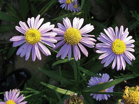 manfaat khasiat bunga aster bibitbungacom