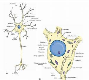 A schematic representation of a neuron. (A) Note the ...