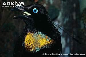 Six-wired bird of paradise photo - Parotia lawesii ...