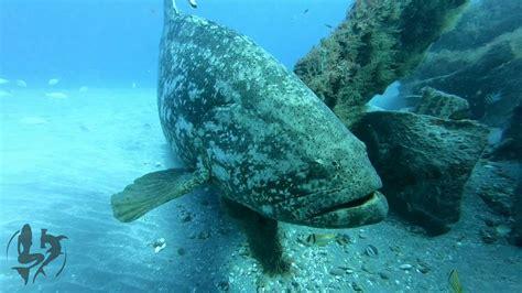 grouper goliath behavior territorial