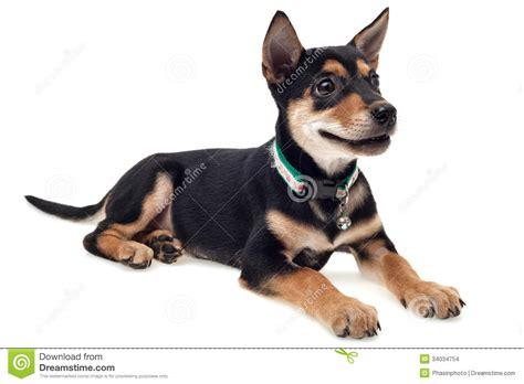 Smiling Dog Stock Images - Image: 34034754