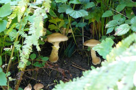 Hallimasch Pilze Im Garten by Hallo Hallimasch Dragonflys Gartenblog