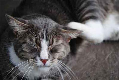 feline hyperesthesia twitchy cat disease