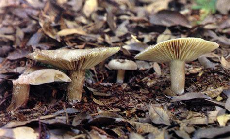 A deadly Russula :Cornell Mushroom Blog
