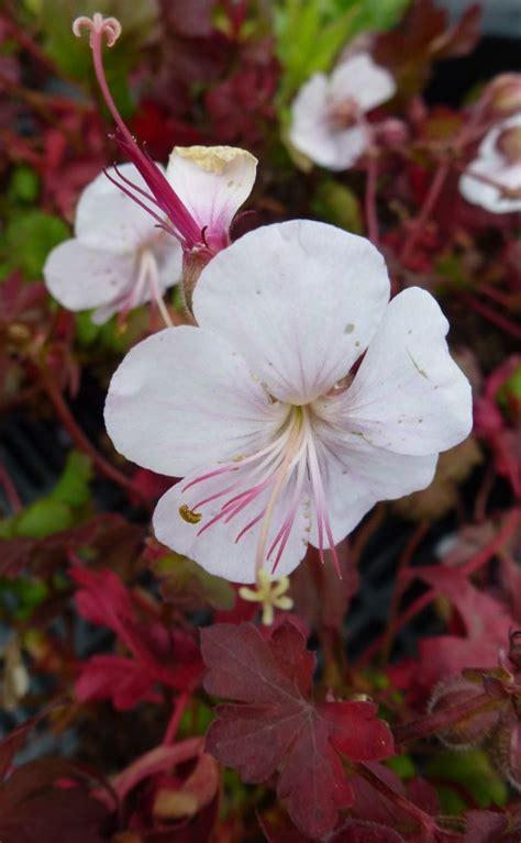 geranium stola ooievaarsbek