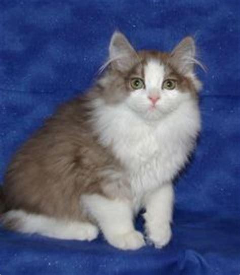 ragamuffin cat blue lynx point cats  kittens