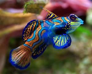 Mandarin Fish Wallpaper - Free Fish Downloads