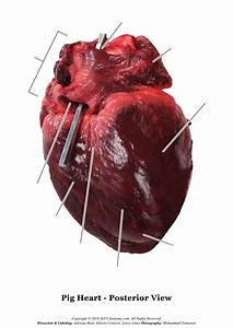 Pig Heart Dissection Photos