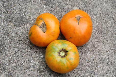 color tomato bi color tomatoes