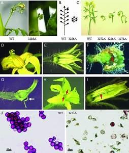 Flower Morphology Of Tomato Plants Overexpressing Sltpr1