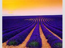 Wallpaper Lavender Fields, Sunset, Landscape, Valensole