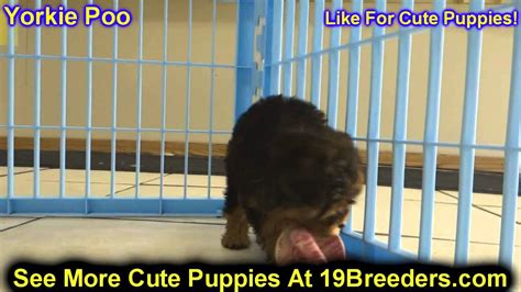 Yorkie Poo Puppies For Sale In Anchorage Alaskaak Fairbanks Juneau Eagle River You
