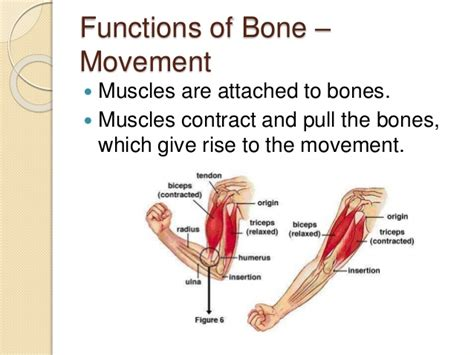 It is made up of many different bones. 5.2 functions of skeleton