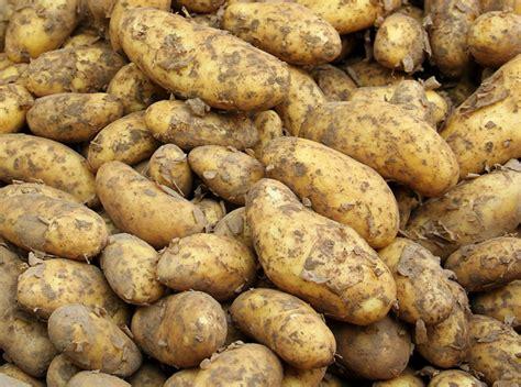 cuisiner des pommes de terre nouvelles les pommes de terre quelles variétés planter pour quelle
