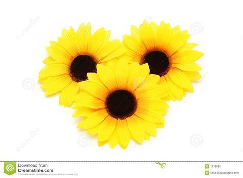 sunflowers isolated stock image image  love life