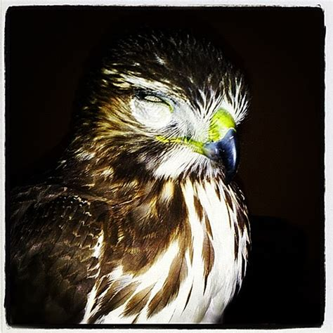 17 best images about birds of prey on pinterest