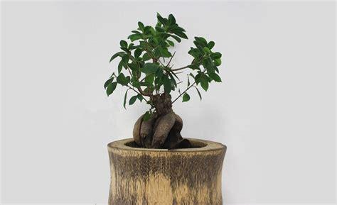 comment entretenir un bonsai d interieur bonsai entretien